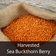 Harvested Sea Buckthorn