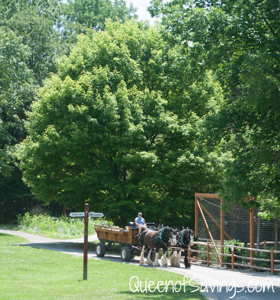 Kentucky Down Under Zoo Shire Horses
