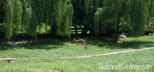 Kentucky Down Under Zoo Kagaroo