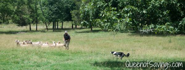 Kentucky Down Under Zoo Herding Sheep