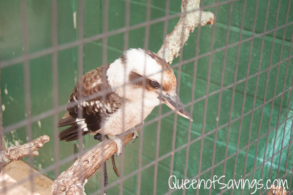 Kentucky Down Under Zoo Laughing Kookaburra