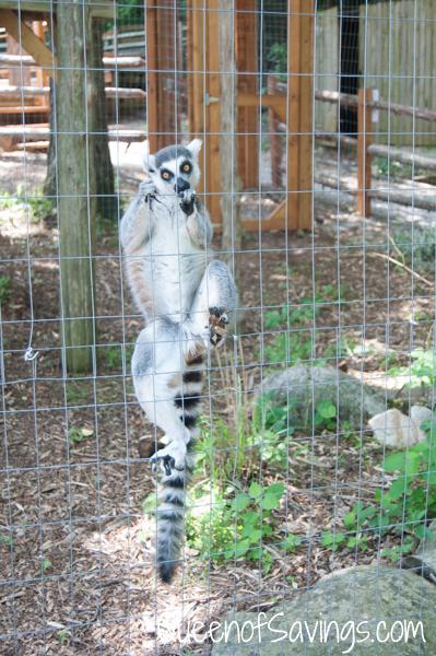 Kentucky Down Under Adventure Zoo Lemurs