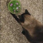 Mocha Playing with Jackson Galaxy Butterfly Ball